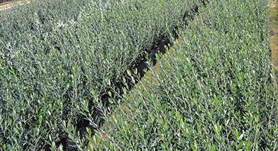 Plantones de olivos arbequina