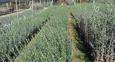 Plantones de olivos Gordal