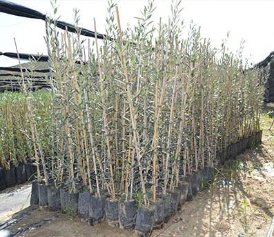 Plantones de olivos hojiblanca